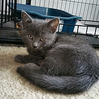 Domestic Shorthair Kitten for adoption in Philadelphia, Pennsylvania - Tulip
