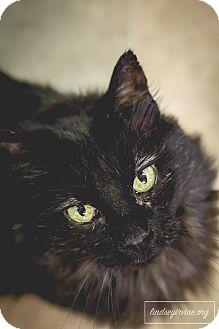 Domestic Mediumhair Cat for adoption in Leander, Texas - Pearl