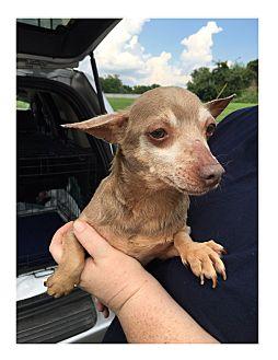Chihuahua Dog for adoption in LaGrange, Kentucky - POKEMON