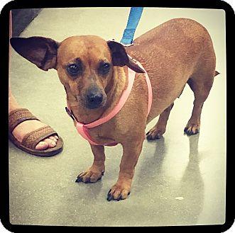 Dachshund Mix Dog for adoption in Grand Bay, Alabama - Dixie