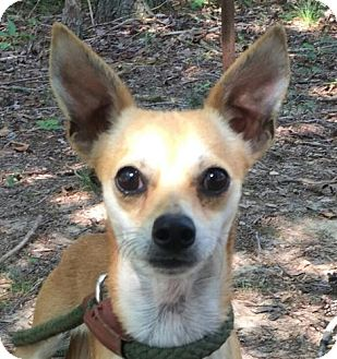Chihuahua Mix Dog for adoption in Harrisonburg, Virginia - Linnie