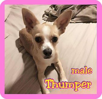 Chihuahua Mix Dog for adoption in Mesa, Arizona - Thumper