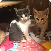 Domestic Shorthair Kitten for adoption in Philadelphia, Pennsylvania - Blueberry