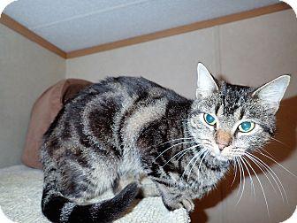 Domestic Shorthair Cat for adoption in North Wilkesboro, North Carolina - Fellina