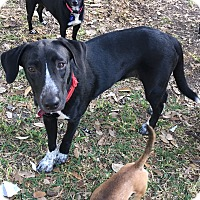 Labrador Retriever/German Shorthaired Pointer Mix Dog for adoption in Boerne, Texas - Ella
