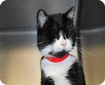Domestic Mediumhair Cat for adoption in Chicago Ridge, Illinois - LUNA