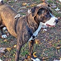 Adopt A Pet :: Chalupa - Troy, MI