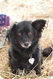 Pomeranian Mix Dog for adoption in Vacaville, California - Dodger