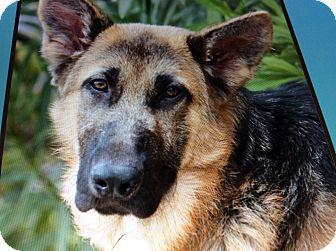 German Shepherd Dog Puppy for adoption in Los Angeles, California - NICKY VON NIKLAUS