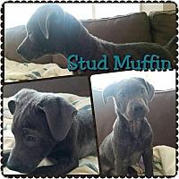 Adopt A Pet :: Stud Muffin - Garden City, MI