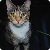 American Shorthair Cat for adoption in Exton, Pennsylvania - Maci (PB)