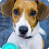 Adopt A Pet :: Freddie - Staten Island, NY