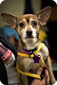 Chihuahua Mix Dog for adoption in Seattle, Washington - Carrie