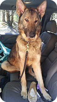 German Shepherd Dog Dog for adoption in Louisville, Kentucky - Doc