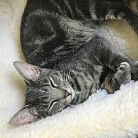 Adopt A Pet :: Lynx - Royal Palm Beach, FL