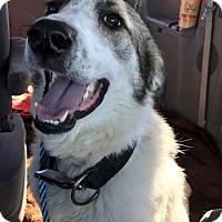 Adopt A Pet :: Harley Badger - Kyle, TX