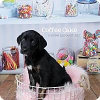 Adopt A Pet :: Coffee Cake - Denver, CO