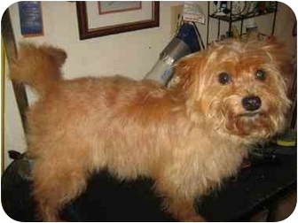 Yorkie, Yorkshire Terrier/Cairn Terrier Mix Dog for adoption in Conroe, Texas - Archie