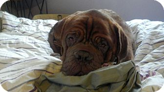 Dogue de Bordeaux Dog for adoption in Broomfield, Colorado - Champ