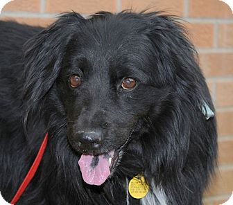 Flat Coated Retriever Cross SATCH | Adopted Dog | ...