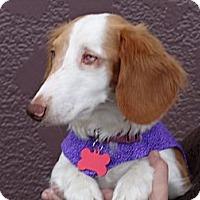 Adopt A Pet :: DARCY - Portland, OR