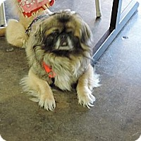 Adopt A Pet :: Mr. Peabody - Oklahoma City, OK