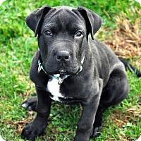 Adopt A Pet :: Tullio - Pleasant Plain, OH