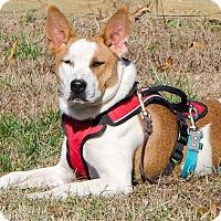 Adopt A Pet :: Juliet - Midlothian, VA