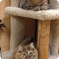 Domestic Mediumhair Cat for adoption in Temple, Pennsylvania - Fuzzy & Kitty
