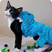 Domestic Mediumhair Kitten for adoption in Oviedo, Florida - Bella