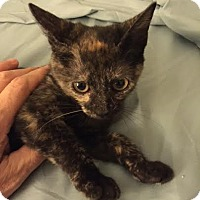 Adopt A Pet :: Twinkle KITTEN - tampa, FL