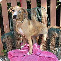 Catahoula Leopard Dog Mix Dog for adoption in Springfield, Virginia - Gypsy