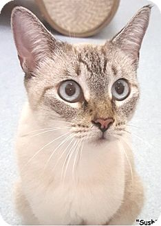 Siamese Cat for adoption in Key Largo, Florida - Sushi