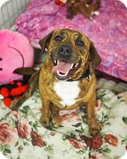 Beagle/Pit Bull Terrier Mix Dog for adoption in Whitehall, Pennsylvania - Alex