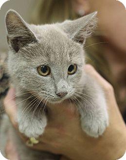 Domestic Mediumhair Kitten for adoption in Mount Laurel, New Jersey - Sky