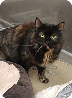 Maine Coon Cat for adoption in Absecon, New Jersey - Freckles Courtesy Post