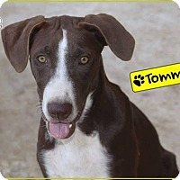 Adopt A Pet :: Tommy - St. Catharines, ON