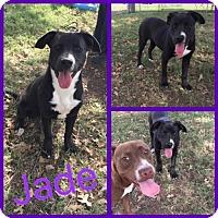 Collie/Dachshund Mix Dog for adoption in Alvarado, Texas - Jade