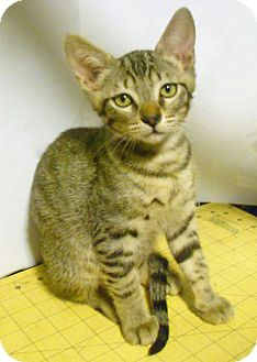 Domestic Shorthair Cat for adoption in Studio City, California - Autumn
