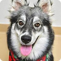 Adopt A Pet :: Vixen - Dublin, CA