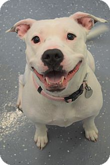Pit Bull Terrier Mix Dog for adoption in Kalamazoo, Michigan - Spring