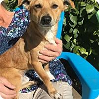 Adopt A Pet :: Miles - Temecula, CA