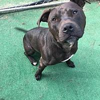 Adopt A Pet :: Mocha - Charlotte, NC
