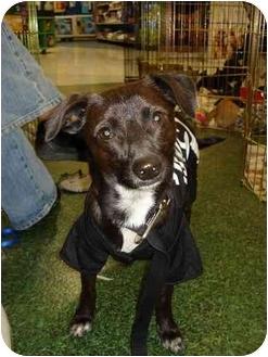 Chihuahua/Dachshund Mix Dog for adoption in Fowler, California - Peanut