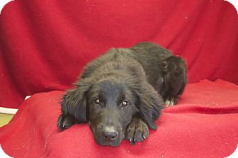 Labrador Retriever Mix Dog for adoption in New Cumberland, West Virginia - Moose