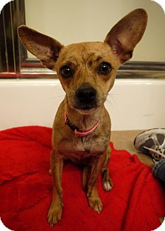 Chihuahua Mix Dog for adoption in Baton Rouge, Louisiana - Ally