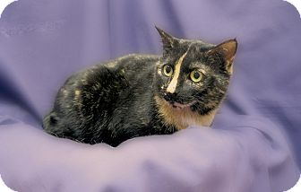 Domestic Shorthair Cat for adoption in Richmond, Virginia - Sadie