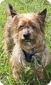 Yorkie, Yorkshire Terrier Dog for adoption in Forked River, New Jersey - Chaz