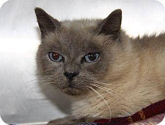 Bombay Cat Rescue Illinois