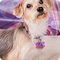 Silky Terrier Dog for adoption in Elizabethtown, Pennsylvania - Pixie